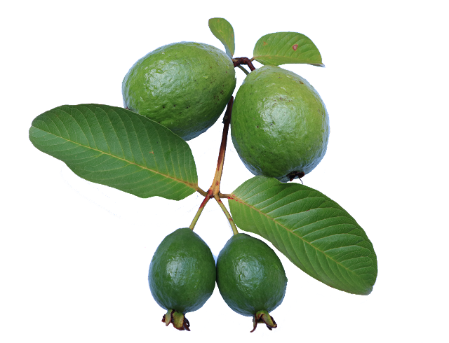 Tea of guava leaves will control sugar