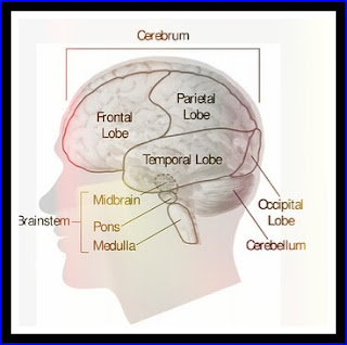 BRAIN,CEREBULLUM,CEREBRUM, FRONTAL LOBE,BRAIN STEM