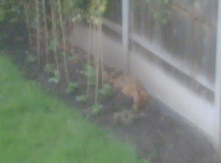 For the fox in my garden - Learning for Life Consulting