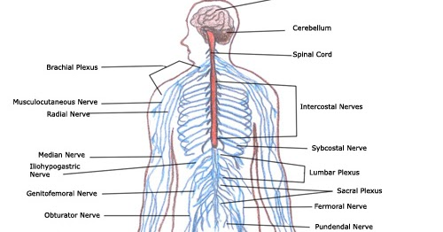 Labeled Nervous System Diagram