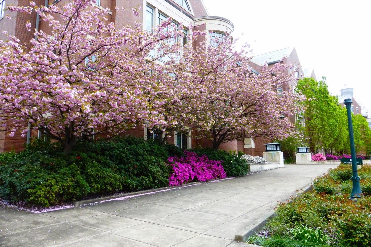 spring 2015, spring, spring blossoms, spring ornamental tree blossoms, spring campus walk, azalea blosoms