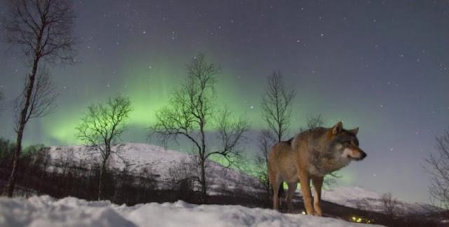 Indignación la propuesta de Noruega de matar lobos salvajes