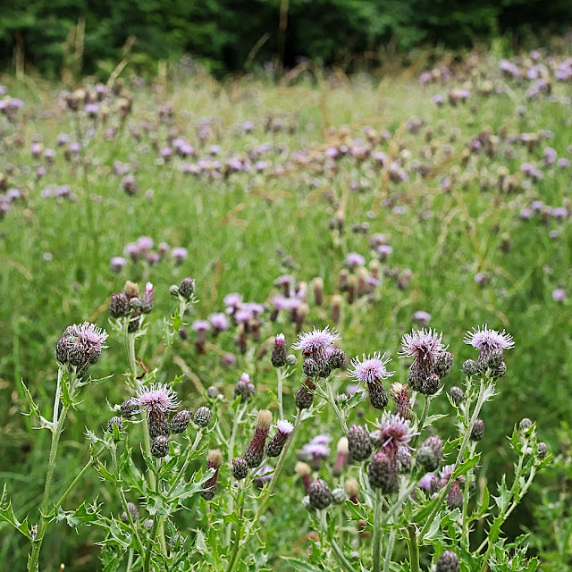 Meadow full of creeping thistles