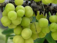 gambar buah ceremai, cerme