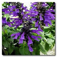 Salvia%2Bamistad1.png