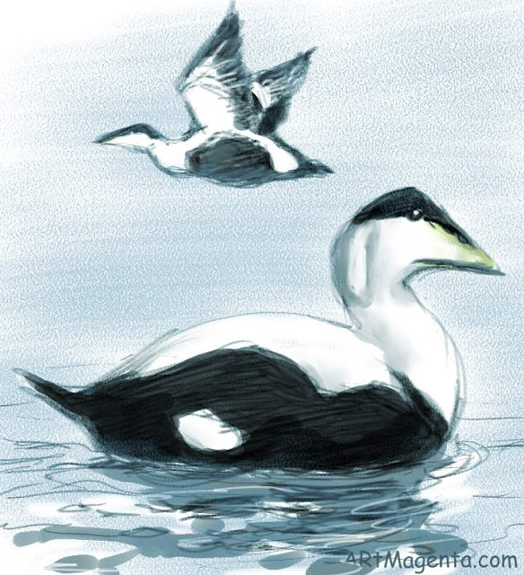 Eider is a bird drawing by digital artist and illustrator Artmagenta