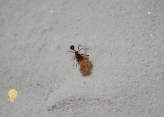 Red Ant With Cornflake