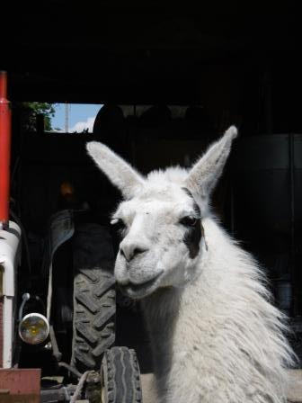Lama chez Mathieu, malooka
