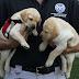ΚΑΙ ΑΥΤΟΙ ΨΑΧΝΟΥΝ ΓΙΑ ΣΠΙΤΙ! Οι σκύλοι που δεν γίνονται αστυνομικοί δίνονται για υιοθεσία...