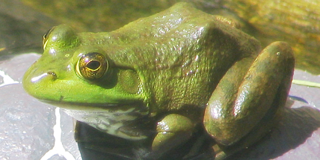 Bullfrog Eggs May Hold the Secret to Mesothelioma Survival
