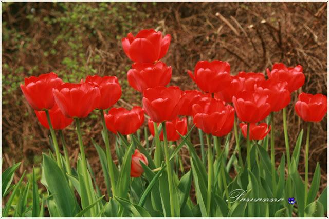 wiosna w ogrodzie, tulipany, odmiany tulipanów, czeremcha, decoupage