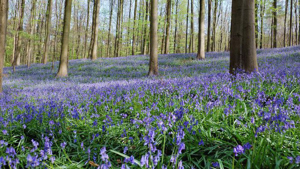 Pretty Blue forest Hallerbos picture
