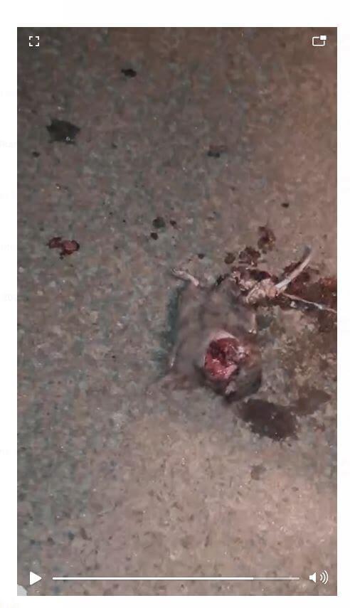 tikus mati terlindas mobil