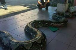 Mengerikan, Ular Piton Sepanjang 7 Meter Berhasil Ditangkap
