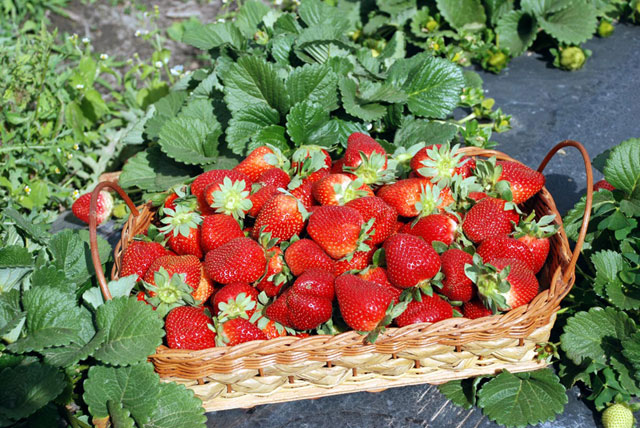 Bali Strawberry Farm & Restaurant