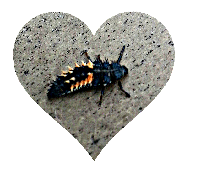 A larva of a Harlequin Ladybird, that looks like a Hexbug.