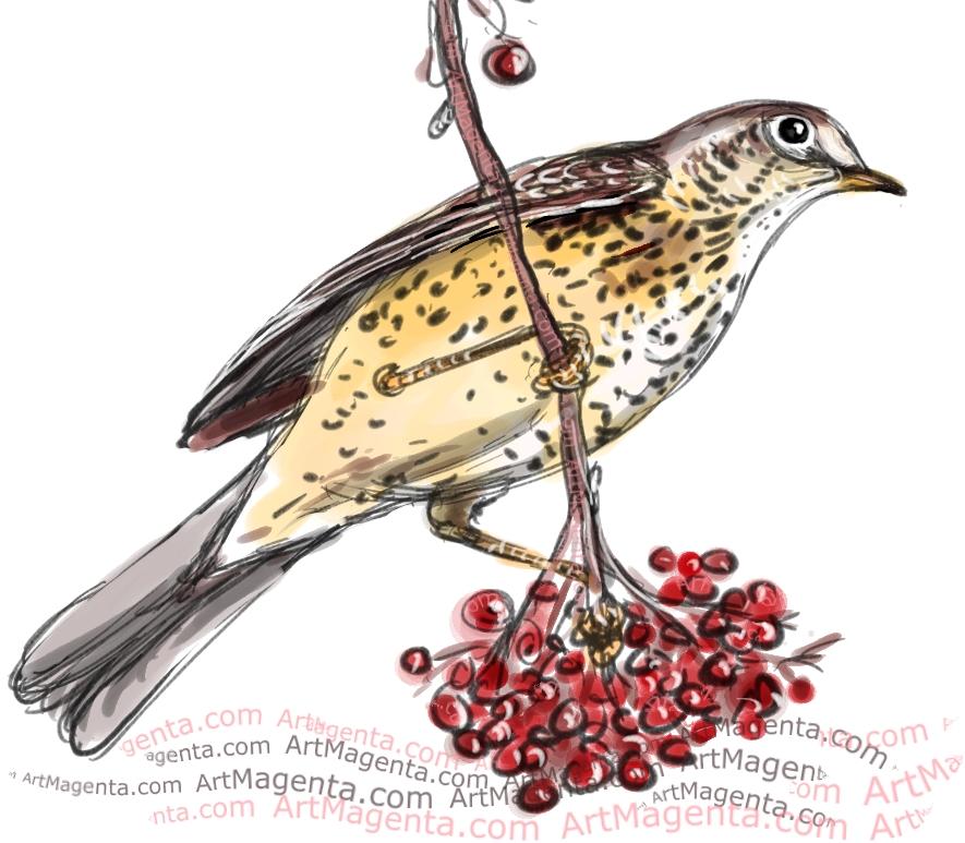 Mistle Thrush sketch painting. Bird art drawing by illustrator Artmagenta