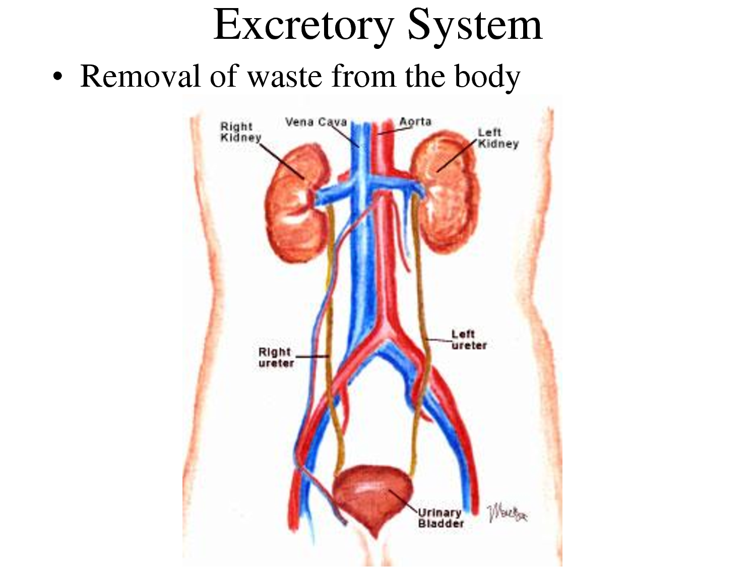 Digestive System also Physiology Urinary System further Methods Of Imaging Of The Urinary Tract Using Contrast as well Kidney Failure Treatment Ayurveda additionally Major Kidney Charity Buys Liver Bladder. on excretory system steps
