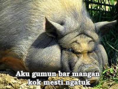 foto babi besar tidur lucu