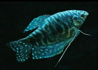 ikan sepat hias