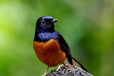 Khasiat/Manpaat Dan Kisaran Harga Terbaru Obat Batuk Burung Saat Ini Terlengkap