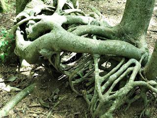 Raízes de Árvores - Jardim Botânico de Porto Alegre