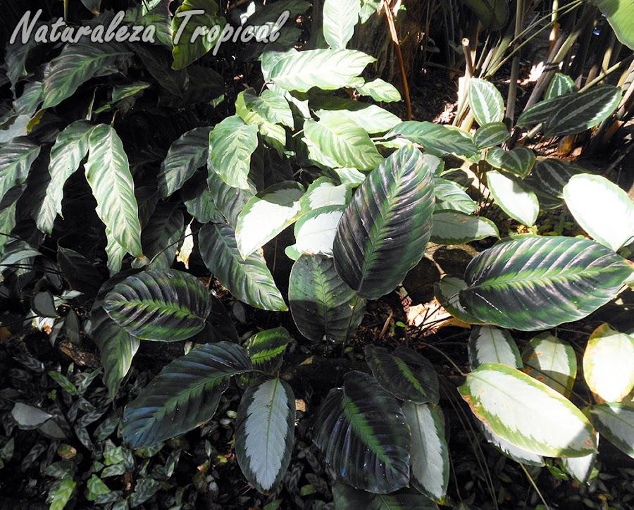 Las Calateas necesitan cultivarse en interiores siempre, género Calathea