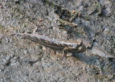 Yellow-spotted mudskipper (Periophthalmus walailakae)