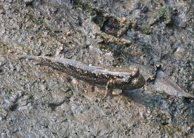 Yellow-spotted mudskipper (Periophthalmus walailakae)