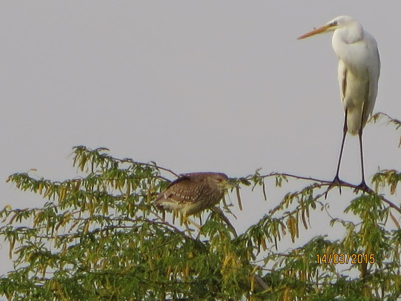 Black-crowned Night Heron (left) & Western Great Egret (right)