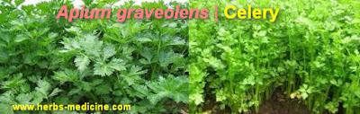 Hair care use celery