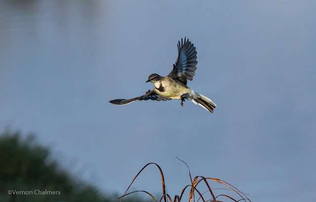 Cape Wagtail in Flight - Woodbridge Island