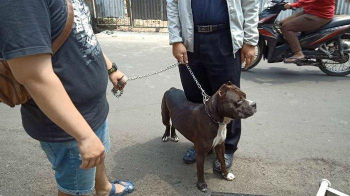 Tak Terima Ditegur, Pemilik Anjing Pitbull Suruh Terkam Satpam Hingga Masuk Rumah Sakit