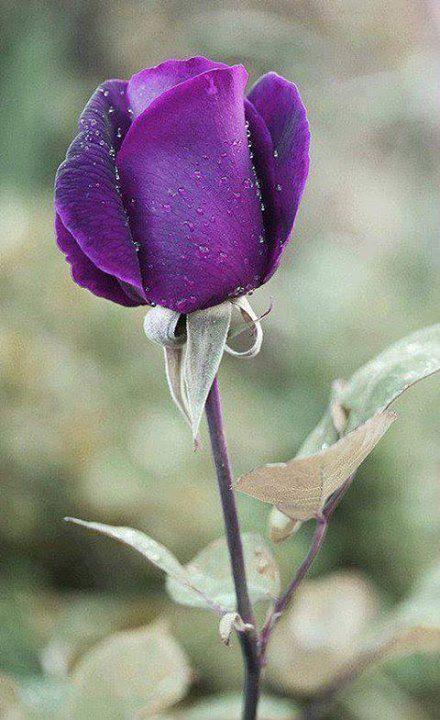 Princess Purple Roses