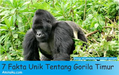 Fakta unik gorila timur