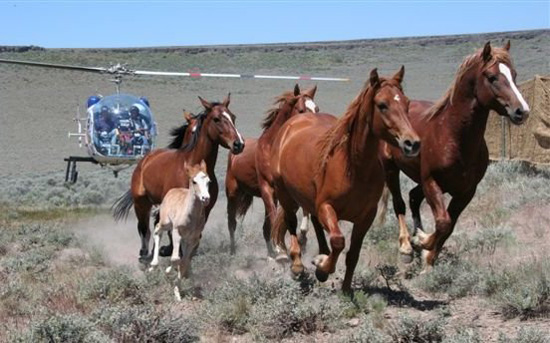 Uproar: Feds to round up famous 'wild' horse herd
