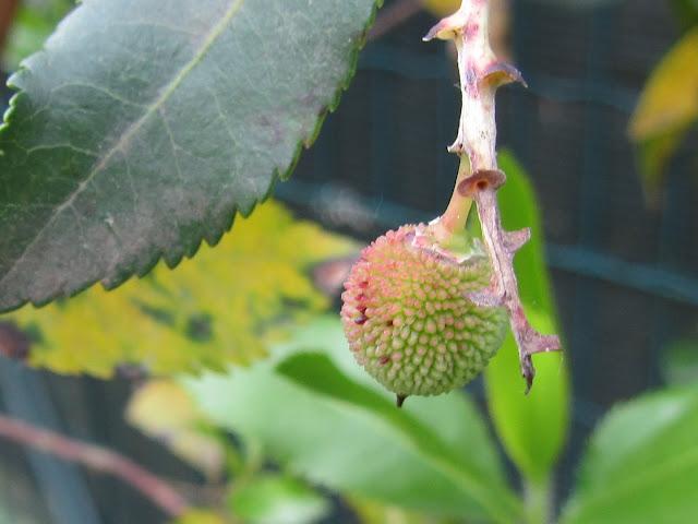 Frutticino in Giugno Corbezzolo