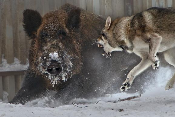 Λύκος προσπαθεί να επιτεθεί σε αγριόχοιρο....VIDEO
