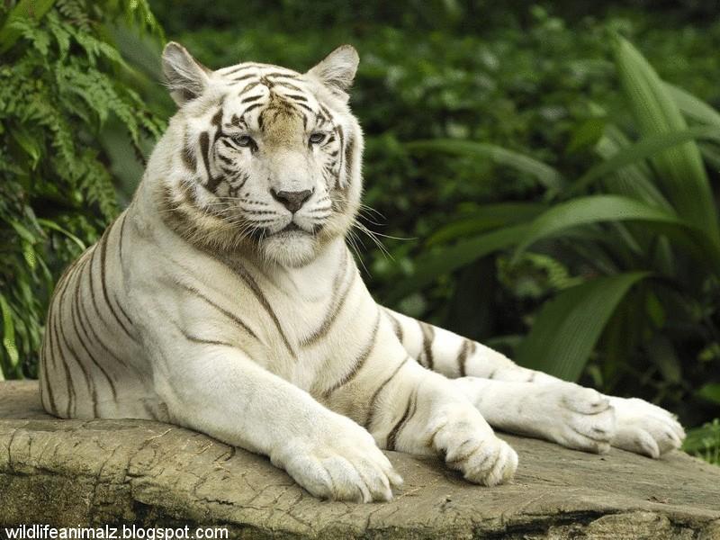 wild animal white - photo #21