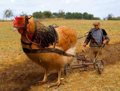 All about Funny Pictures and Funny SMS.: Big Big Funny Hen ...