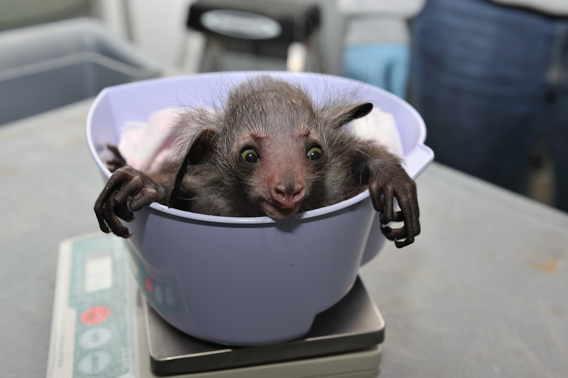 Baby Animals: Baby Aye-aye 2