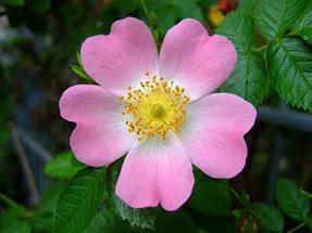 Цветок имени Лариса - шиповник