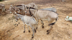 Photos: Donkeys are butchered and sold in markets in the Northern Nigeria
