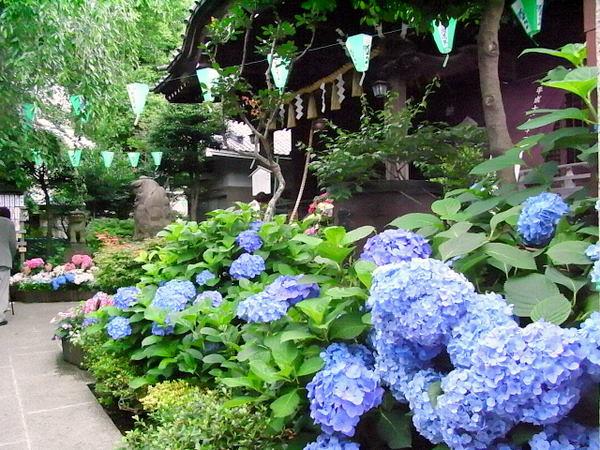 Bunkyo Ajisai Matsuri - Hydrangea) Flower Festival, at Hakusan-jinja Shrine, Hakusan Park, Bunkyo-ku, Tokyo