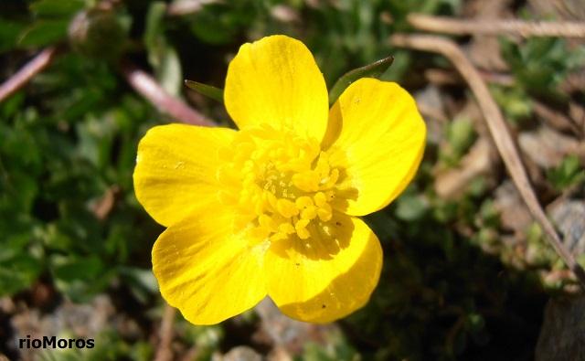 BOTÓN DE ORO Ranunculus demissus