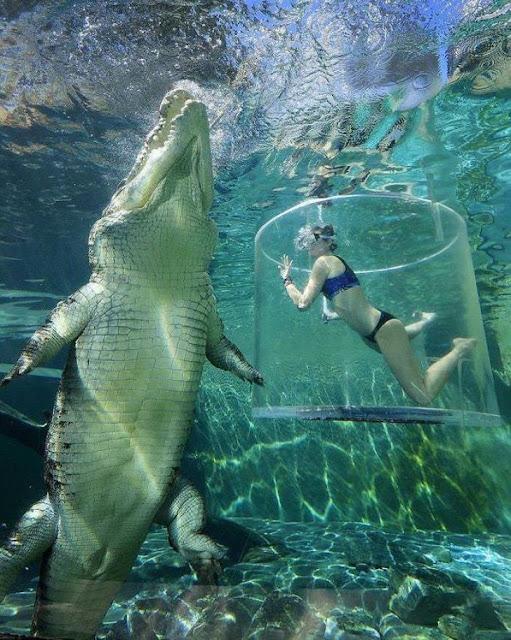 Crocodilo de água salgada (Imagem: Reprodução/Casos Interessantes)