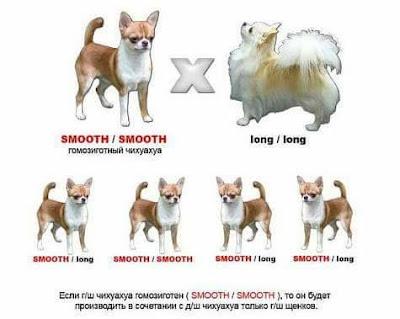 Diferencias entre chihuahua de pelo largo y pelo corto