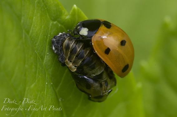 Aus Mumienpuppe geschlüpfter Siebenpunkt-Marienkäfer (Coccinella septempunctata)