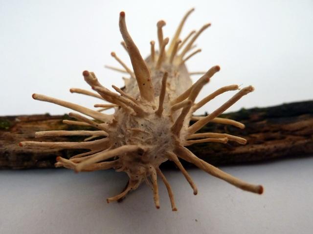 Le blog du lutin d 39 ecouves le champignon de la mort qui tue for Champignon de maison dangereux