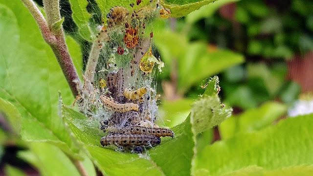 codling-moth.jpg